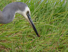 White-faced Heron (James_Preece) Tags: whitefacedheron m43 wtp heron ardeidae egrettanovaehollandiae