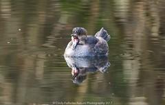 Hooded Merganser (CindyFullwiler Nature Photography) Tags: hooded merganser carrie blake park diving ducks