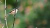 Ashy prinia (theviewfinder) Tags: birds ashyprinia birdphotography nikon d90 tc14ii nikon300mmf4 karnataka bangalore midhun midhunthomas midhunjohnthomas