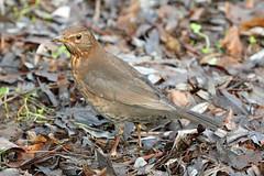 Mrs. Blackbird! (RiverCrouchWalker) Tags: blackbird female bird chelmsford essex january 2018 winter turdusmerula leaflitter shoots