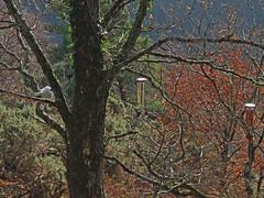 Recording wind chimes in copse by Hunter's Path, Teign Gorge (Philip_Goddard) Tags: europe unitedkingdom britain british britishisles greatbritain uk england southwestengland devon dartmoornationalpark drewsteignton teignvalley teigngorge hunterspath views scenery landscapes woodland wood valley hill windchimes recording winter