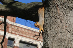 229/365/3516 (January 26, 2018) - Squirrels in Ann Arbor at the University of Michigan  (January 26th, 2018) (cseeman) Tags: gobluesquirrels squirrels annarbor michigan animal campus universityofmichigan umsquirrels01262018 winter eating peanut januaryumsquirrel 2018project365coreys yeartenproject365coreys project365 p365cs012018 356project2018