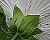 Back is beautiful (louise peters) Tags: hollyhock commonhollyhock stokroos kaasjeskruid malvaceae boerenroos alcearosea flower bloem makro pink roze green groen plant