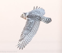 Full stretch (rdroniuk) Tags: birds raptors owl owls birdsofprey snowyowl snowyowlirruption buboscandiacus oiseaux oiseauxdeproie rapaces hibou hiboublanc harfangdesneiges snowyowlflight harfangdesneigesauvol