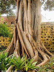 2488  Tronco de Higuera de Bengala (Ricard Gabarrús) Tags: tronco planta naturaleza ricgaba botanica olympus arboles ricardgabarrus