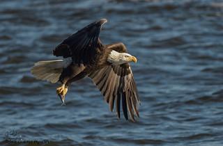 Bald Eagle fishing.
