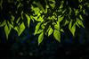 Layers (::: M @ X :::) Tags: leaves tree hojas planta arbol green verde transparencias transparency