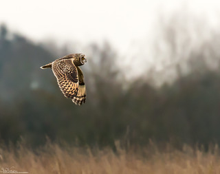 Short - Eared Owl Hunting.
