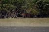 ROYAL BENGAL TIGER (tjt4002) Tags: royalbengaltiger sunderban incredibleindia swamptiger