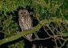 Another Tawny (ukmjk) Tags: tawny owl staffordshire stoke nikon nikkor d500 300mm f4 pf bird night sb900
