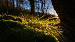 Birnam Wood detail - 9th February 2018 (grahamrobb888) Tags: nikon nikond800 nikkor nikkor20mmf18 d800 dunkeld birnamwood birnam bluesky bright shadows shadow scotland perthshire nature natural rural woodland eveninglight evening eveningsun