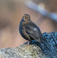 Blackbird female (johnthistle) Tags: black bird blackbird female wild handheld outdoor canon
