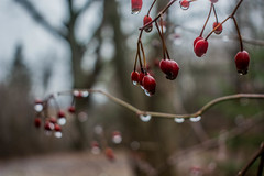 2018 - photo 042 of 365 - hawthorn berries in the rain (old_hippy1948) Tags: hawthorn berries