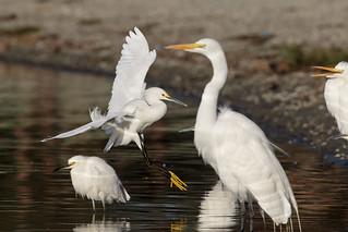 Great & Snowy Egrets