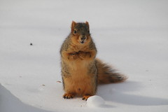 Squirrels On a Snowy Winter's Day in Ann Arbor at the University of Michigan (February 13th, 2018) (cseeman) Tags: gobluesquirrels squirrels annarbor michigan animal campus universityofmichigan umsquirrels02132018 winter eating peanut februaryumsquirrel snow snowy sunny