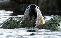 polarbear Blijdorp BB2A5228 (j.a.kok) Tags: ijsbeer polarbaer beer bear blijdorp ursusmaritimus animal predator mammal zoogdier dier
