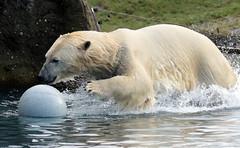 polarbear Blijdorp BB2A8708 (j.a.kok) Tags: ijsbeer polarbear blijdorp bear beer ursusmaritimus predator arctic noordpool northpole mammal animal zoogdier dier