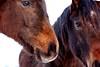 Brrrrr (Antje_Neufing) Tags: pferd horse kopf braun