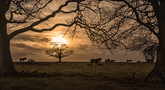 NEW FOREST SUNSET (EXPLORED 17 February 2018) (mark_rutley) Tags: hampshire newforest tree trees sunset horses silhouette winter newforestponies explored