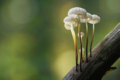 Schwindlinge (Olaf Traumflieger) Tags: halsband schwindlinge marasmius rotula pinwheel mushroom tister bauernmoor