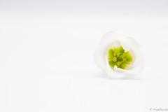 Petite Fleur (jacobsfrank) Tags: bloem flower fleur nikon nikond5 macro green groen yellow geel contrast frankjacobs jacobsfrank steenokkerzeel love