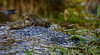 Frog Spawn - Close Up (Robin M Morrison) Tags: frog spawn riverexe winsford exford
