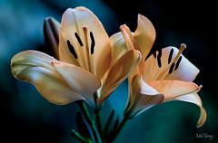 Shining-in-the-dark_DSC0495 (Mel Gray) Tags: asianlily lily flowers flowermacro macroflower peach nikond850