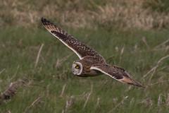 short eared owl (colin 1957) Tags: shortearedowl eldernell cambridgeshire owl birdsofprey