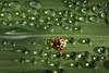 Jewel (bug eye :) Thailand) Tags: ladybeetle beetle dew droplets morning