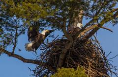 Leaving Their Tree (John Kocijanski) Tags: eagle baldeagle nest animals eagles tree nature wildlife birds birdofprey canon70300mmllens canon7d