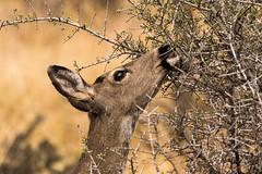 Black-tailed Deer (Odocoileus hemionus columbianus) Doe (Brown Acres Mark (always 2 days behind)) Tags: blacktaileddeer odocoileushemionuscolumbianus doe cascademountains jacksoncountyoregon oregon usa southernoregon markheatherington