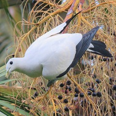Pied Imperial Pigeon (Oriolus84) Tags: townsville queensland australia wildlife animal bird birds piedimperialpigeon pigeon white black anzacpark duculabicolor ducula