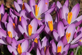 Explosion of Crocuses !