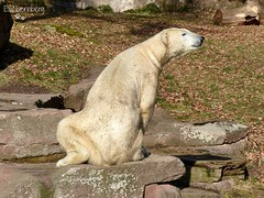 Vera - Charlotte - Eisbären - Tiergarten Nürnberg (ElaNuernberg) Tags: eisbärvera eisbärcharlottealiaslottchen tiergartennürnberg nurembergzoo zoo zooanimals zootiere eisbär polarbear ijsbeer isbjorn ourspolaire orsopolare niedźwiedźpolarny ursusmaritimus jääkaru