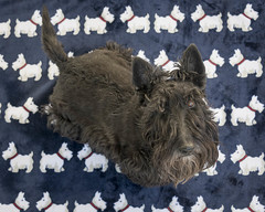 20180224  A Sea of Maggies  9141-Edit (Laurie2123) Tags: ddc dailydogchallenge laurieabbotthartphotography laurieturner laurie2123 maggie maggiemae missmaggie odc odc2018 ourdailychallenge scottie scottieterrier scottiedog scottishterrier scotty scottydog blackscottie blackdog home