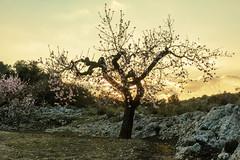 IMG_1075 Evening  in the mountains (jaro-es) Tags: nature natura natur naturemaster naturewatcher naturesfinest españa eos70d evening abend baum tree blüten frühling spring canon