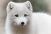 Arctic Fox (lilredlizzie) Tags: animal arcticfox beautiful pretty zoo outdoors outside stonezoo stoneham massachusetts newengland canon canon80d canonef70300 nature naturelovers dof bokeh