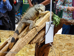 Animal Expo 2017-156 (Flashouilleur Fou) Tags: animal expo expositions exposition animalexpo 2017 paon chien chat cat dog puppet pet oiseau poisson crevette rat souris mouse rescue association dogue persan meicoon chartreux dalmatien caméléon lésard lizard pogona reptiles amphibien mamifere paris îledefrance france fr