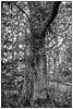 Tree (unukorno) Tags: tree baum forest vilm putbus mecklenburgvorpommern deutschland rügen bw sw monochrome blackwhite frame rahmen