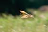 逆光之虎飆速 (安頭(金門)) Tags: bird meropsphilipennus bluetailedbeeeater 夏日精靈 金門栗喉蜂虎 栗喉蜂虎 sonyilca99m2 金門鳥 金門 a99m2 a99ii sony500mmf4gssm sal500f40g sonyilca77m2 a77m2 ilca77m2 sony bluetailed beeeater 鳥