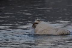IMG_2789 (armadil) Tags: mavericks beach beaches californiabeaches dog pyreneesdog maverickthepyrenees