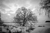 Tahmelan kynäjalava (ulmus laevis) (Markus Heinonen Photography) Tags: kynäjalava tahmela tampere puu tree träd ulmus laevis european white elm bw blackandwhite maisema landscape talvi winter suomi finland europe