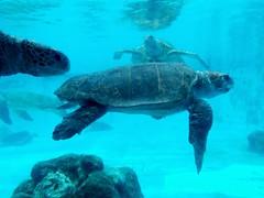 Giant Sea Turtles (stardex) Tags: seaturtle underwater marinelife aquarium okinawachuraumiaquarium japan
