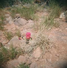 A Rose Among the Thorns (jillybeanmi) Tags: arizona flower cactus lomography 120film rollfilmweek holga analog film filmisnotdead shootfilm