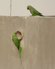 Morning gossip (ehsanmostafa) Tags: bird birdphotography parrot green urban city dhaka bangladesh morning talk gossip