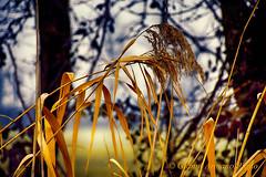 Siamo proprio come le canne al vento.Siamo canne, e la sorte è il vento!!! (Gianni Armano) Tags: canne al vento foto gianni armano photo flickr