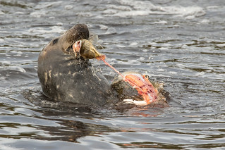 Grey Seal Feeding
