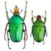 Taurrhina longiceps (Kolbe, 1892) Togo (a) (Easyparadise) Tags: beetle collection coleoptera metal color insect nature animal scarab specimen macro entmology museum cetoniinae biodiversity 昆虫 甲虫