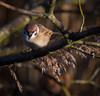 Tree Sparrow (nathian brook) Tags: staveleynaturereserve yorkshirewildlifetrust sigma150600mmcontemporary birdsofbritain britishbirds birds ukbirds ukwildlife