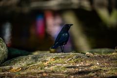 Crow (WestEndFoto) Tags: wildlifephotography flickrwestendfoto natural fother flickr agenre dgeography bird canada queueparkepnextinline bc bsubject naturephotography burnaby animal britishcolumbia ca flickrwestendfotoep